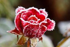 Resultado de imagen para garden roses