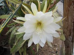 How to care, repot, propagate, cultivate, decorate, feed, water and more information about Epiphyllum (Orchid Cactus).