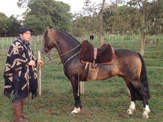 Caballos Criollos destacados: Maneador Carnavalito Horse Gear, Horse Tack, Rare Horse Breeds, Rare Horses, Horse Costumes, Equestrian Chic, Horse Artwork, Horse World, Saddles