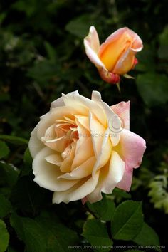 'Gruss an Aachen' Floribunda by Geduldig, Germany, 1909. Floribunda Roses, Ronsard Rose, Peonies, Dahlias, Rose Care, Rose Varieties, Coming Up Roses, Love Rose, English Roses