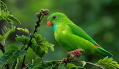 Vernal Hanging-Parrot (Loriculus vernalis) / Весенний висячий попугайчик