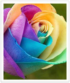 Magia das Plantas: Rainbow roses