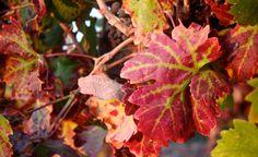 De belles couleurs d'automne dans les vignes