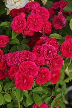 深みのある赤い小花を大きな房に咲かせ 良く伸びる枝を覆うように咲く姿が見事なつるバラ   チェビーチェイス Chevy Chase http://item.rakuten.co.jp/baranoie/c/0000005630/?force-site=pc