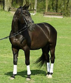 The most famous and successful line of the Czech Warmblood is the Bystrý. The founder was Stallion 469, foaled in 1919. The line is characterized by a robustness, shorter and a less solid run, steeper and a shorter fetlock. They are mainly bay horses. Img: Czech warmblood competition gelding, Brendy.