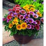 Gazania Rigens for my Deck Planters!  Full Sun Flowers.  This bright trailing annual comes in a host of colors. Gazanias are tender perennials grown as an annual in harsher climates. The flowers close at night.