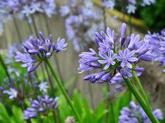 Legyen jövőre is a kerted dísze a kék virágözön.