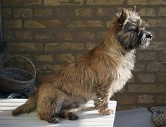 Cairn Terrier Cairn Terriers, Terrier Dogs, Animal Magnetism, Tin Man, Yellow Brick Road, Puppy Mills, Cairns, Shelter Dogs, Wizard Of Oz
