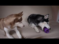 Funny Husky tries to talk other dog into giving her a toy (VIDEO) » DogHeirs | Where Dogs Are Family « Keywords: Siberian Husky, toy, talking bird