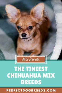 Chihuahuas are small, affectionate, proud and loveable. They may lack size but make up for it with their personality. Read on to discover the tiniest Chihuahua mix breeds and decide which one would be the best fit for you.  #chihuahuamixbreeds #chihuahuamix #chihuahua