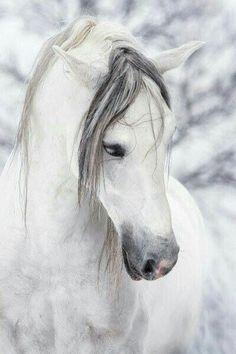 qniko: I love white horses. - Sophie Chirat - - qniko: J'adore les chevaux blancs. qniko: I love white horses. All The Pretty Horses, Beautiful Horses, Animals Beautiful, Beautiful Beautiful, Absolutely Gorgeous, Beautiful Horse Pictures, House Beautiful, Beautiful Things, Beautiful Flowers