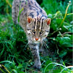 Small Wild Cats, Small Cat, Big Cats, Clouded Leopard, Leopard Cat, Protected Species, San Diego Zoo, Wildlife Conservation, Domestic Cat