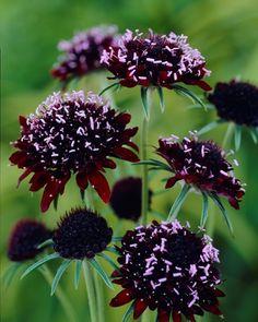Buy Scabiosa Chile Black Online | Hayloft Plants