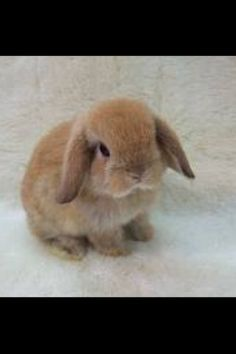 Holland Lop bunny. Has the personality of a dog.