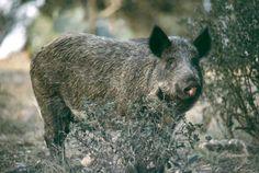 Feral Pig (Sus scrofa domesticus) - Introduced Invasive Species.