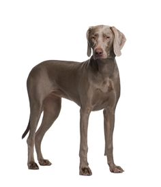 Weimaraner - Athletic, good for backpacking