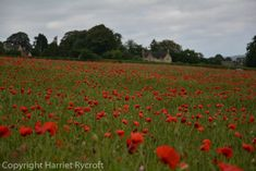 Friday Flora – Papaver rhoeas, the field poppy Cotswold Wildlife Park, Replant, Wildflowers, Planting, Poppy, Fields, Nest, This Is Us, Vineyard