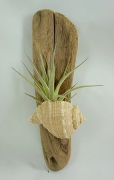 Air Plant in a Shell on Driftwood by ginamariep on Etsy Air Plant in einer Muschel auf Treibholz by ginamariep on Etsy Tillandsia Seashell Crafts, Beach Crafts, Home Crafts, Etsy Crafts, Upcycled Crafts, Driftwood Projects, Driftwood Art, Air Plant Display, Plant Decor
