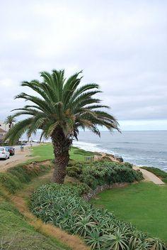 San Diego palm tree