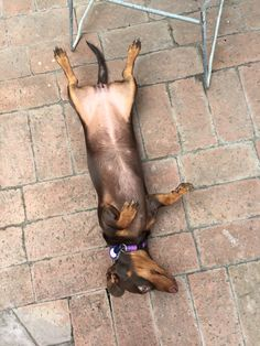 Coco wanting a tummy rub