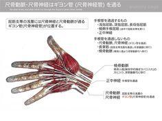 尺骨動脈・尺骨神経はギヨン管 (尺骨神経管) を通る