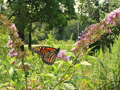 Dundas Valley;- Urquhart Butterfly Garden, via dundasoutdoors.blogspot.com