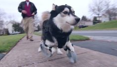 Dog has prosthetic legs 3D printed, runs for the first time!
