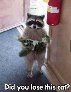 Good racoon, don't eat the cat