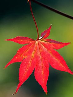 Japanese maple leaf - Fiery favourites: autumn colour in the garden - Gardening ideas - Craft - allaboutyou.com