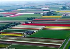tulip patch netherlands - Bing Images