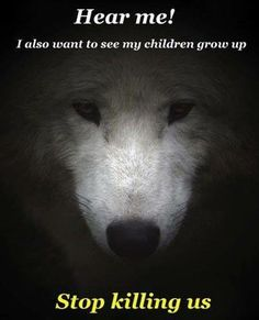 There is no wolf overpopulation, only greedy companies that want to make money! Educate yourself on the truth! Beautiful Creatures, Animals Beautiful, Lone Wolf Quotes, Wolf Qoutes, Animals And Pets, Cute Animals, Funny Animals, Namaste, Wolf Spirit Animal