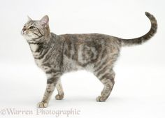 Tabby cat walking photo