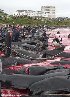 Petition to Stop the unnecessary slaughter and torture of Calderon Dolphins in the Faroe Islands. Please take a moment and sign as these Dolphins are endangered and being slaughtered annually. Pilot Whale, Stop Animal Cruelty, Faroe Islands, Animal Welfare, Believe, Animal Rights, Look At You, Change The World, Dolphins