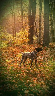 German Shorthaired Pointer                                                                                                                                                                                 More