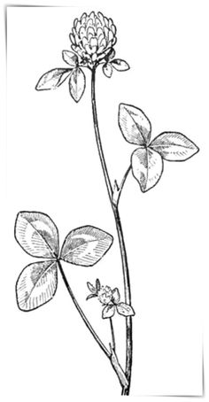 to Draw Clover Blossoms : a Flower Drawing Tutorial Today we are posting a tutorial for drawing Clover Blossoms.a beautiful flower. It's easyToday we are posting a tutorial for drawing Clover Blossoms.a beautiful flower. Easy Flower Drawings, Flower Drawing Tutorials, Easy Drawings, Pencil Drawings, Beautiful Flower Drawings, Flower Tutorial, Black And White Doodle, Black And White Drawing, White Ink