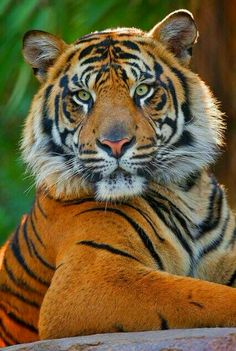 The Tiger spirit animal is willpower, personal strength and beautiful.