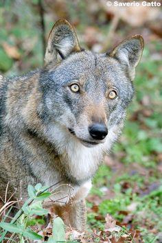 Italian wolf (Canis lupus italicus) by Saverio Gatto