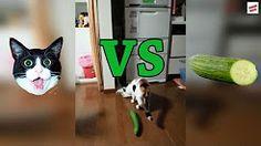 cucumber cat - YouTube