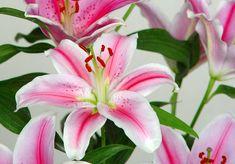 El género Lilium, comprende unas 100 especies que en su conjunto están presentes en extensas regiones templadas del hemisferio norte. De ellas, unas doce son indígenas de Europa, dos de América del Norte y sobre unas sesenta de Asia. - http://www.floresyplantas.net/el-lilium/