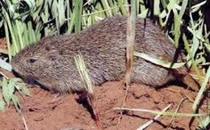 GREATER CANE RAT...aka the grasscutters (as often called in Ghana, Nigeria and other regions of West Africa)....found in reed-beds and riverbanks in Sub-Saharan Africa.... grow up to 2 feet long and weigh less than 19 pounds.....a food source for localls....considered a delicacy