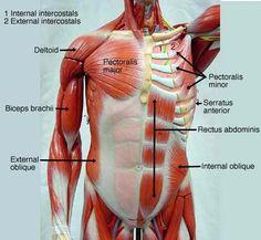 torso+muscle+models+ | BIOL 160: Human Anatomy and Physiology