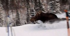 Trapped Moose Runs Past Skiers In Chest Deep Snow | This is Impressive!  snowaddiction.org  French Canadians watch moose charge in deep freshies like a boss while they eat baguettes and bagels.   Like · · Share · 23 minutes ago ·