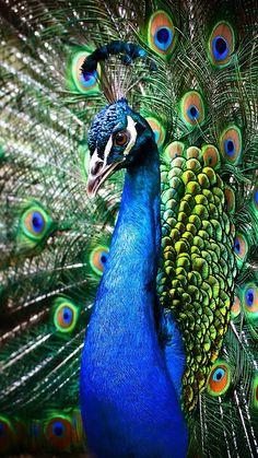 Imagem de colours, animal, and peacock