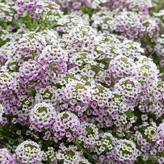 Low-growing and deliciously fragrant, sweet alyssum makes a superior container plant that mingles well with any other flower that shares its sun-worshipping habit. This little trailer rarely grows over 8 inches tall but can quickly spread 12-18 inches long, tumbling over the edge of pots, planters, window boxes, and baskets. Flower colors include white, rose, and purple. Its honey-scented blooms will attract scores of pollinators to your garden while repelling the hungriest deer and…