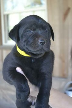 Daisy is an adoptable Labrador Retriever Dog in Jefferson, GA Daisy is one of eight puppies looking for a forever home! They are about a month old (as of 4/1 ... ...Read more about me on @Petfinder.com.com