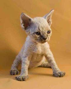 Cutest devon rex ever! I Love Cats, Crazy Cats, Cute Cats, Kittens Cutest, Cats And Kittens, Devon Rex Kittens, Baby Animals, Cute Animals, Cornish Rex Cat