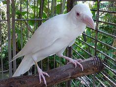 Albino Crow @Robert Kissinger