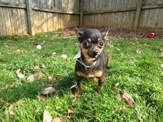 Lucy is an adoptable Chihuahua Dog in CHARLOTTE, NC. If interested in Lucy, please visit our website for an adoption application. www.familyadditiondogrescue.org Adoption fee is $250 which includes 2 ...