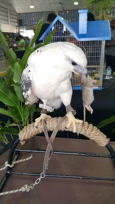 White Hawk feeding on a mouse