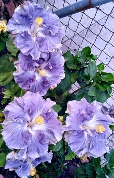 hibiscus flower benefits for skin Flora Flowers, Fruit Flowers, Unusual Flowers, Beautiful Flowers Garden, Blooming Flowers, All Flowers, Pretty Flowers, Colorful Flowers, Purple Flowers